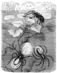 Image: Argydometa Aquatica 1884 Source: http://www.zeno.org/Naturwissenschaften/I/bt09664a.jpg