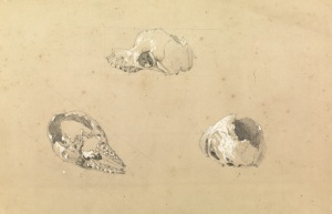 Image: According to acquisition documentation skull thought to be that of a bunyip Source: Attributed to John Skinner Prout